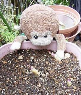台所で放置しすぎたじゃがいもを土に植えたらどうなるか