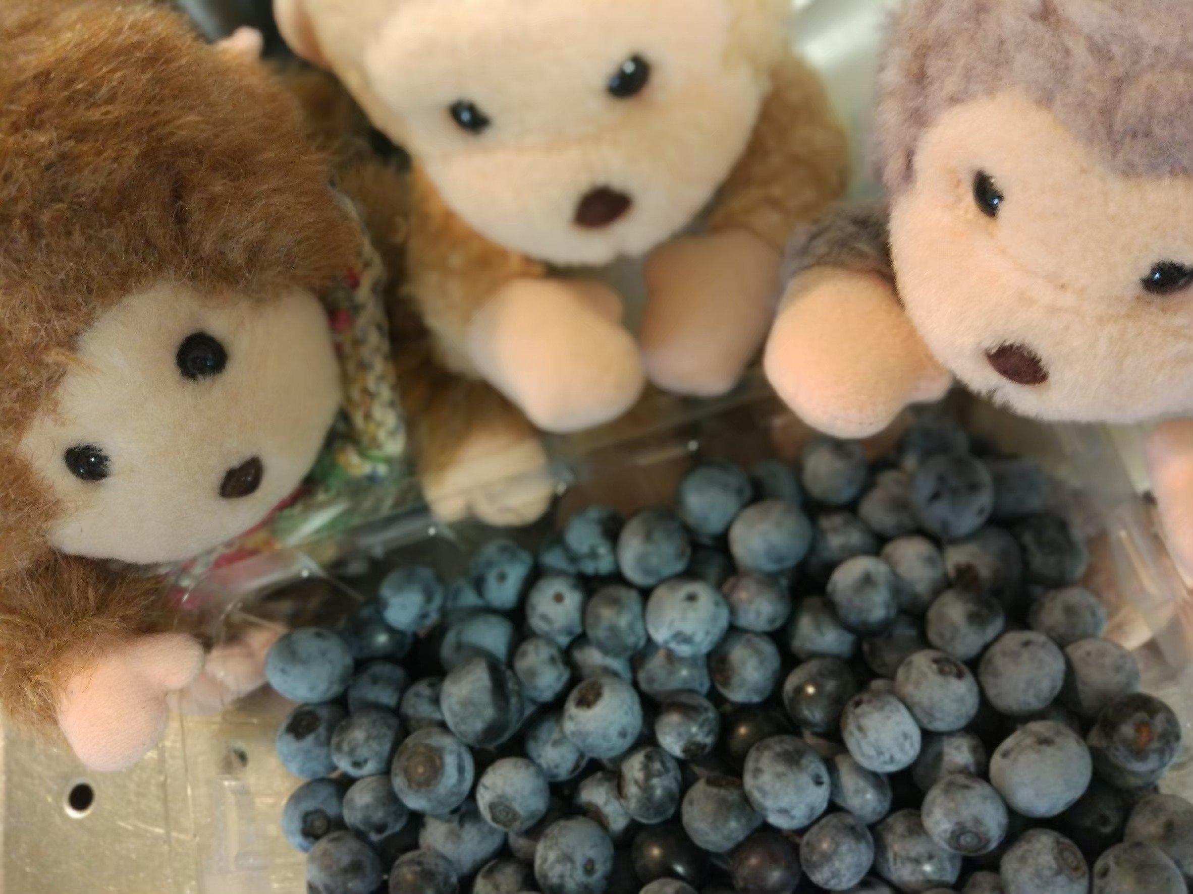 横浜でブルーベリー狩り!よこはまあさひブルーベリーの森に行ってきた
