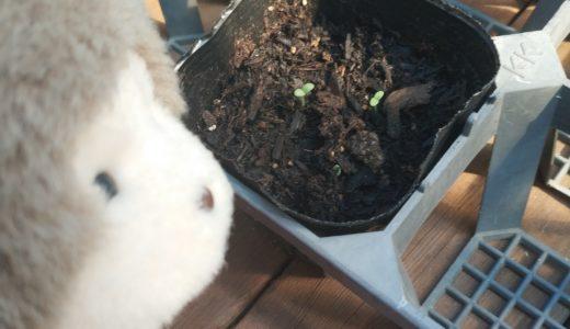家庭菜園でもんきい!リーフレタスの根っこが出てきたよ編